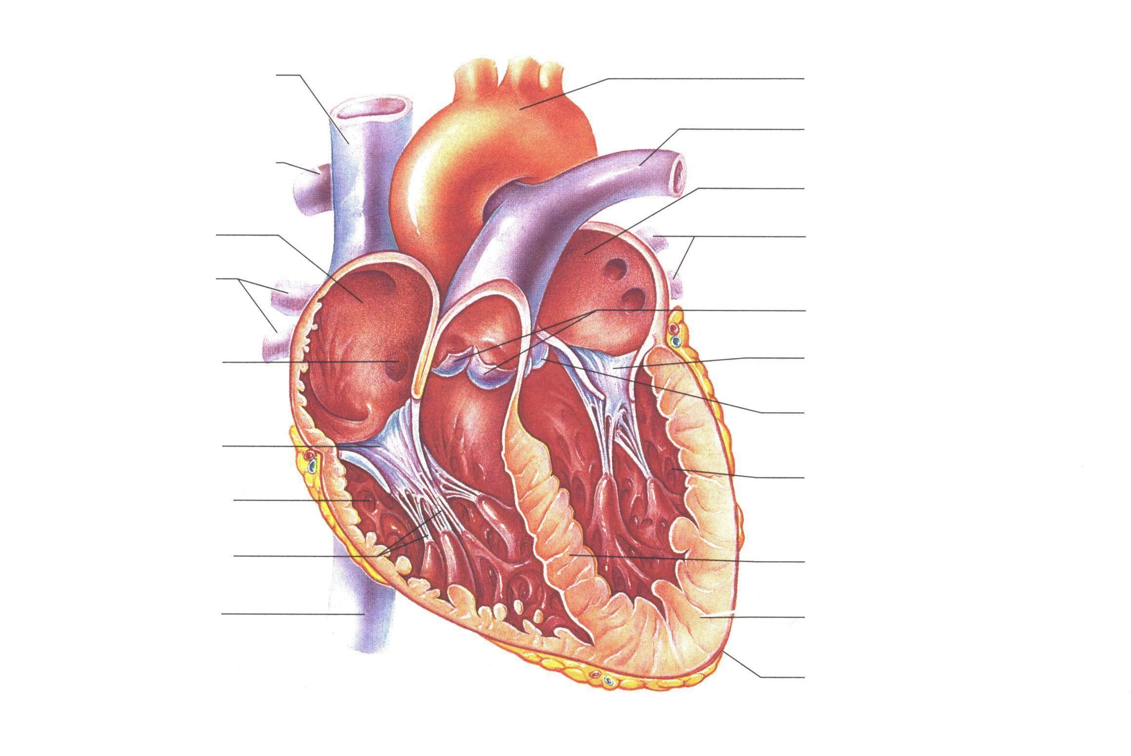 blank heart diagram | homeschool | pinterest | heart, heart diagram