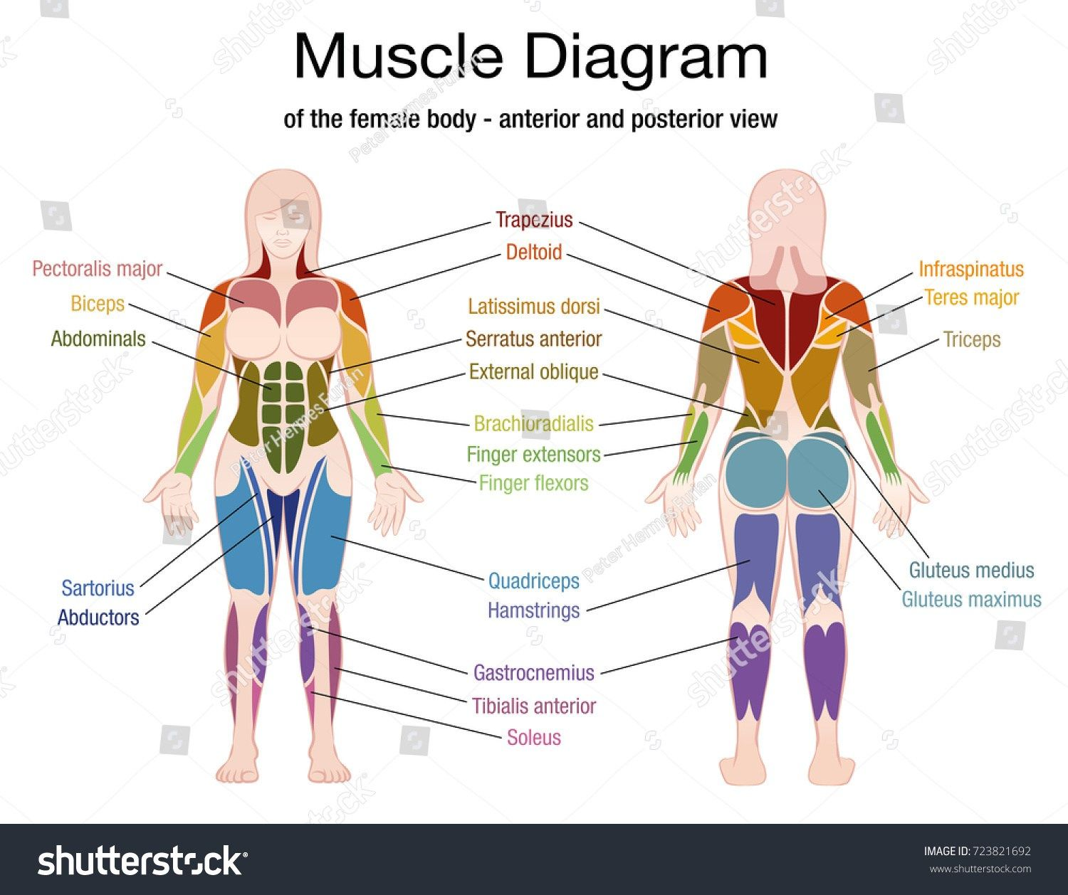Pin On Human Anatomy Drawing