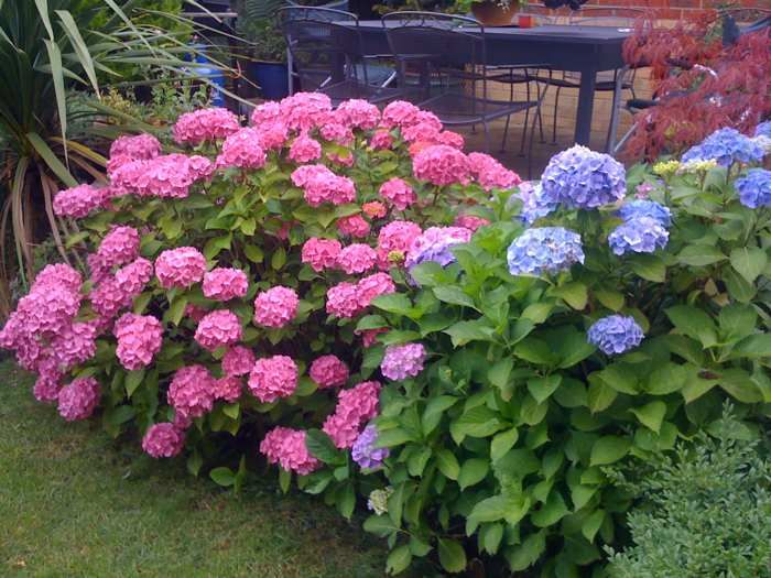 Flowering shrubs few summer flowering shrubs can for Pink flowering shrubs