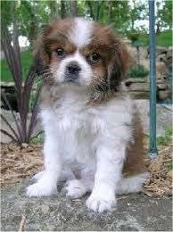 Image Result For Tibetan Spaniel Japanese Chin Mix King Charles