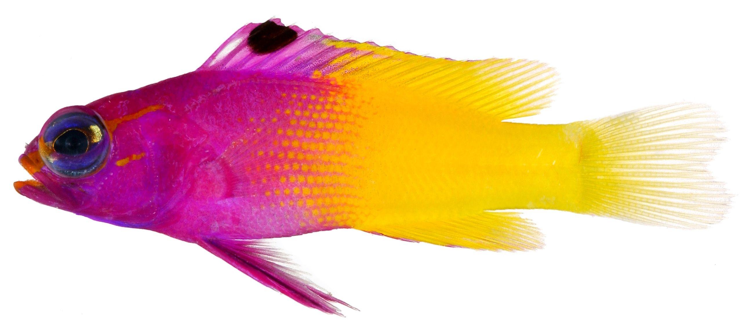 Animal Fish Photo Gramma Loreto Adult Royal Gramma Fish Finding Nemo Fish Tropical Fish