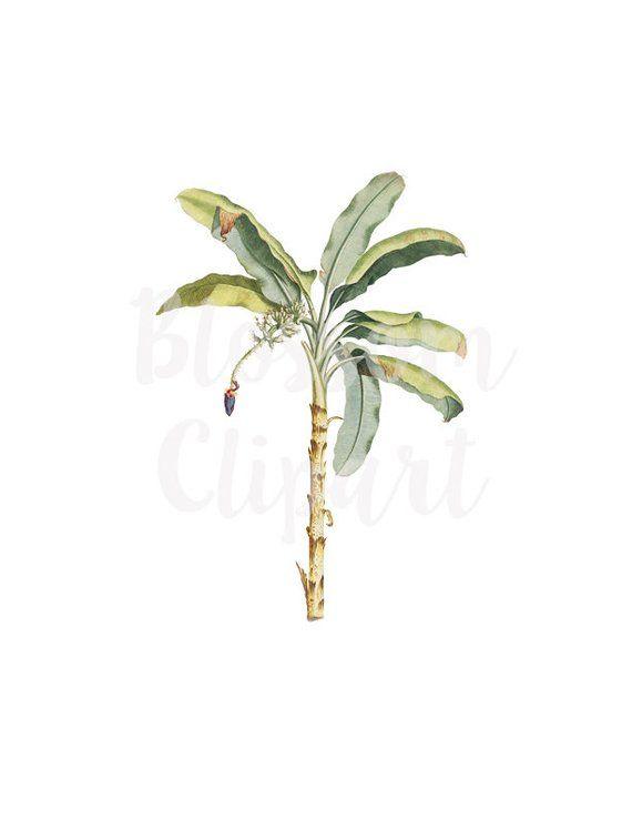Banana Plant Clipart Banana Vintage Illustration CLipart for (570 x 738 Pixel)