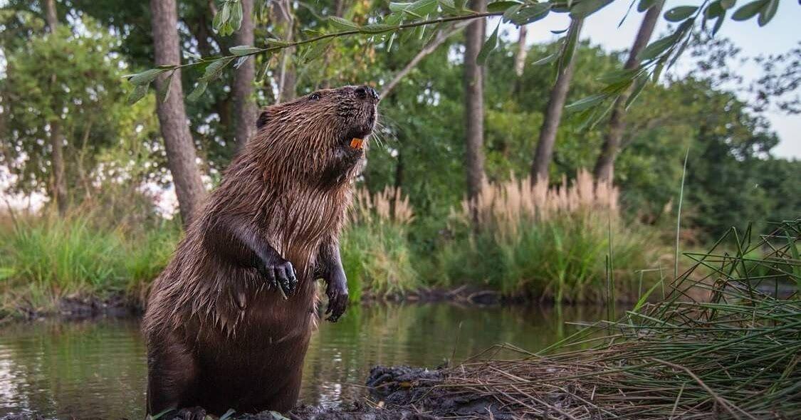 معلومات مثيرة للإهتمام حول القندس Animals Brown Bear Bear