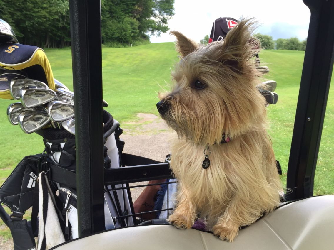 Where A Scottish Dog Should Be On The Golf Course Cairn