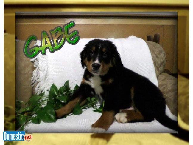 Gabe Male Akc Bernese Mountain Dog Hi Im Gabe Im An