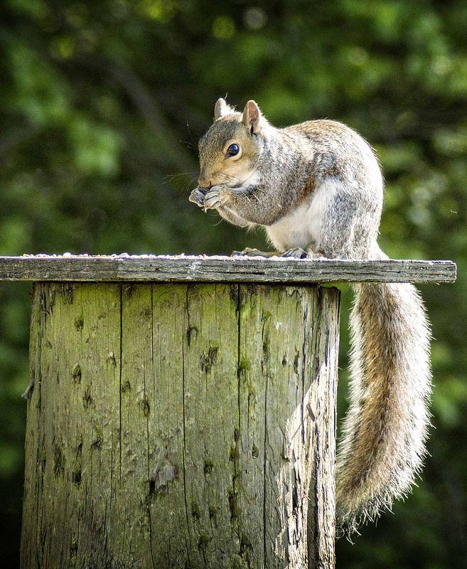 squirrel pinching bird seed 365/43