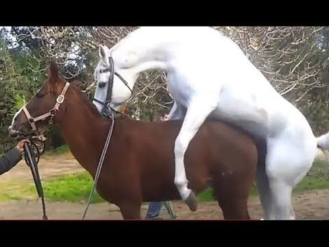 Arab white stallion horse mating culeando caballo ...