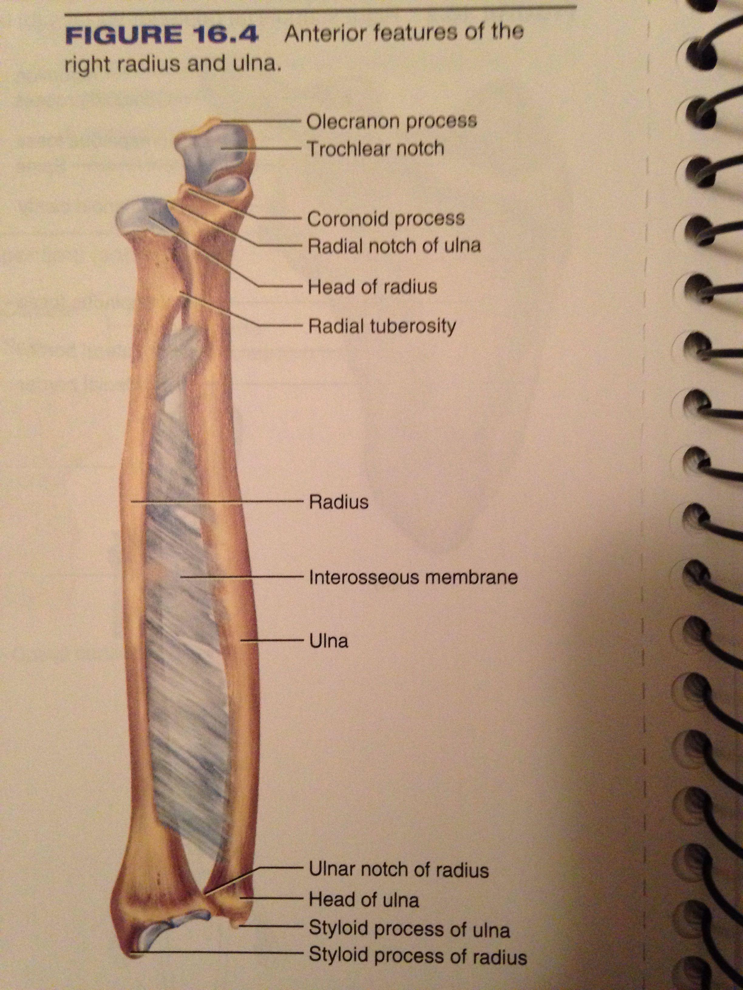 Radius and ulna | Anatomy & physiology Some Bio Medical | Pinterest ...