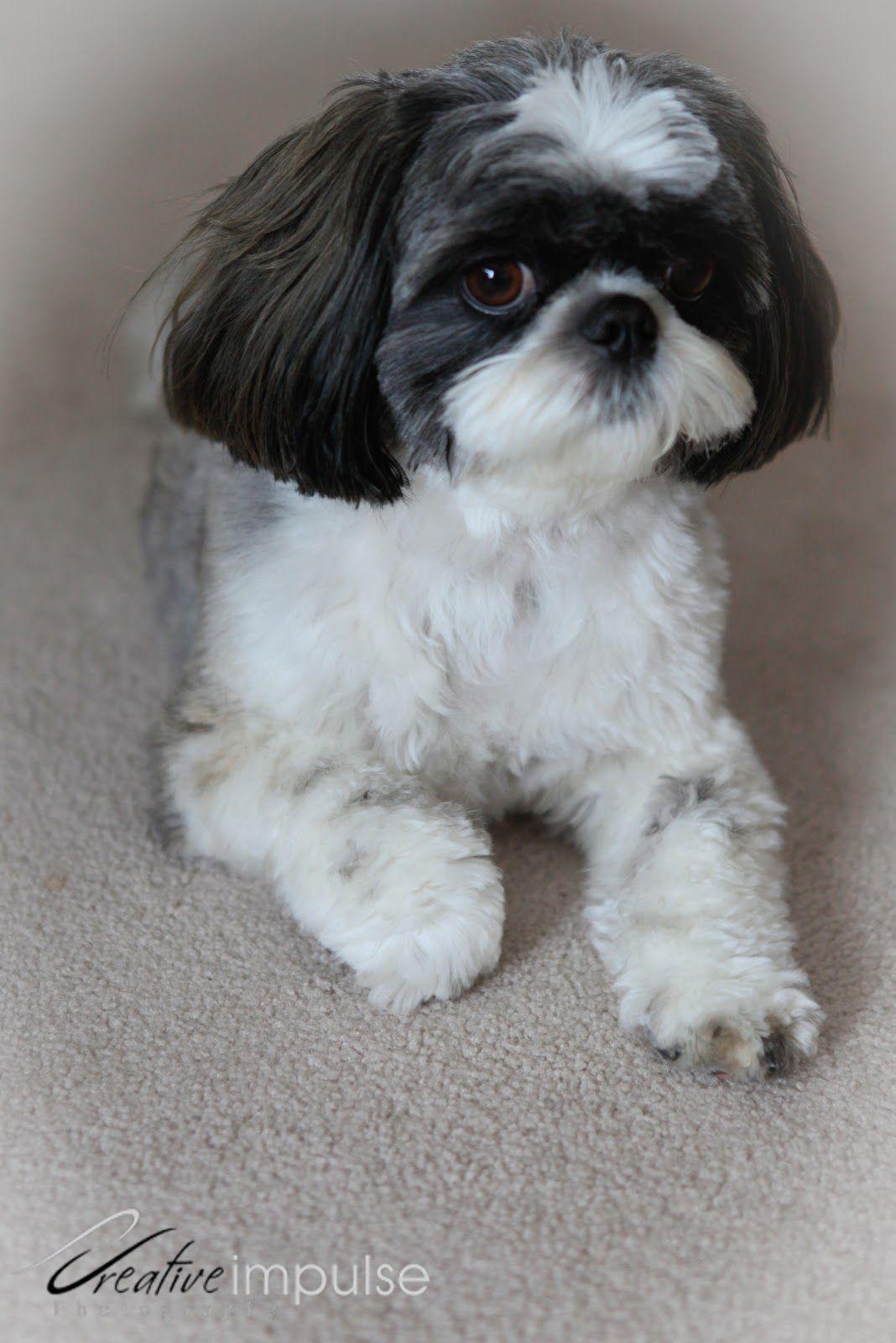 Shih Tzu Husky Mix Dog Breeds Picture Shih Tzu Dog Breeds