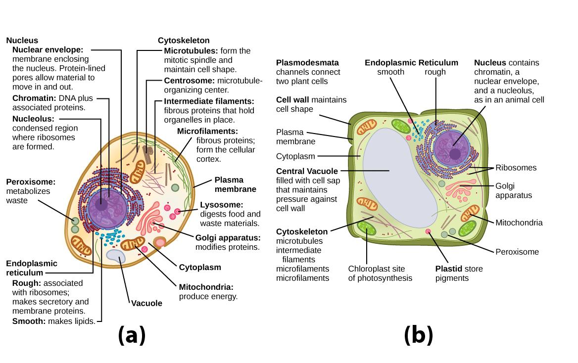medium resolution of organelles biology for majors i