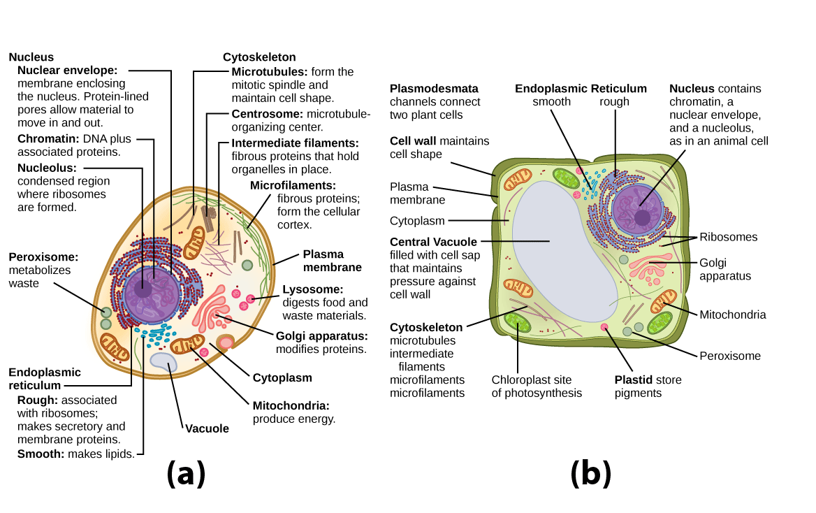 hight resolution of organelles biology for majors i