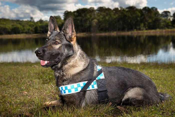 Meet Qld Police S Newest Canine Officers Police Dogs Dogs