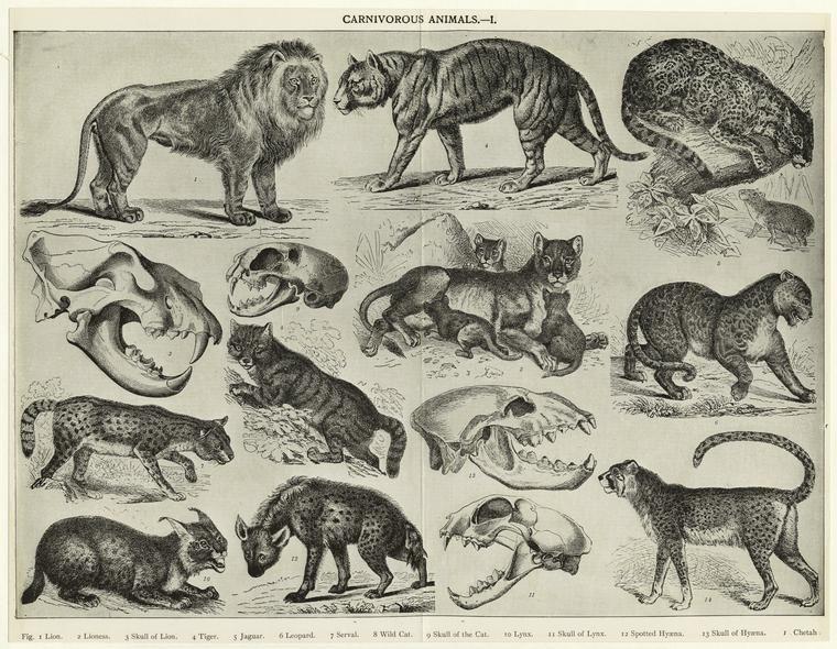 Carnivorous animals by Juliette Beaumont on Bones ...