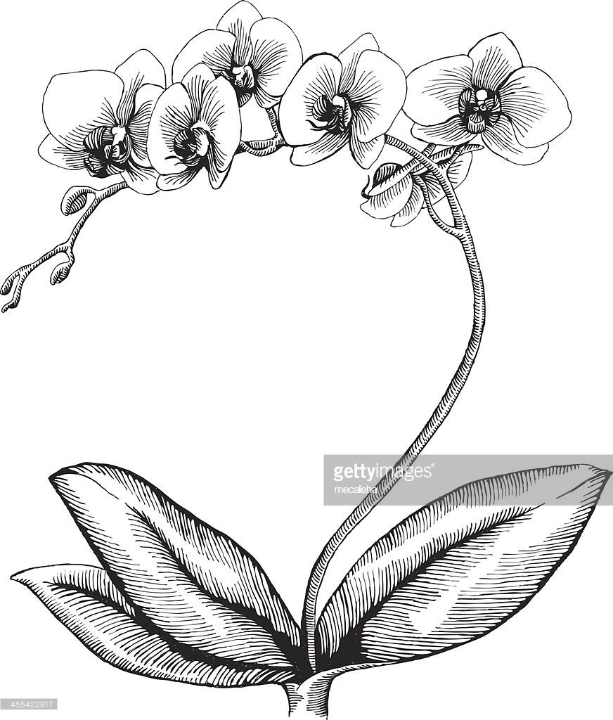 Orchid Arte Vectorial Orchid Drawing Orchid Illustration Flower Line Drawings