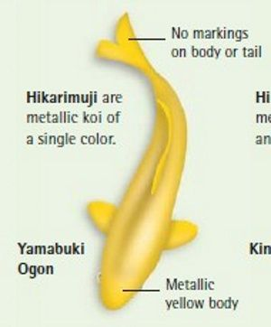 Koi Fish Variety Ogon Koi Koi Fish Colors Koi Fish Koi