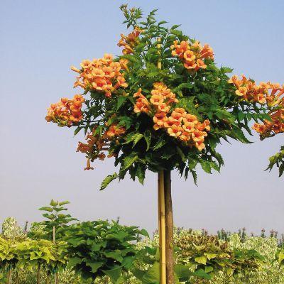 Indian Summer Trumpet Tree Hydrangea Tree Wisteria Tree Flowering Trees