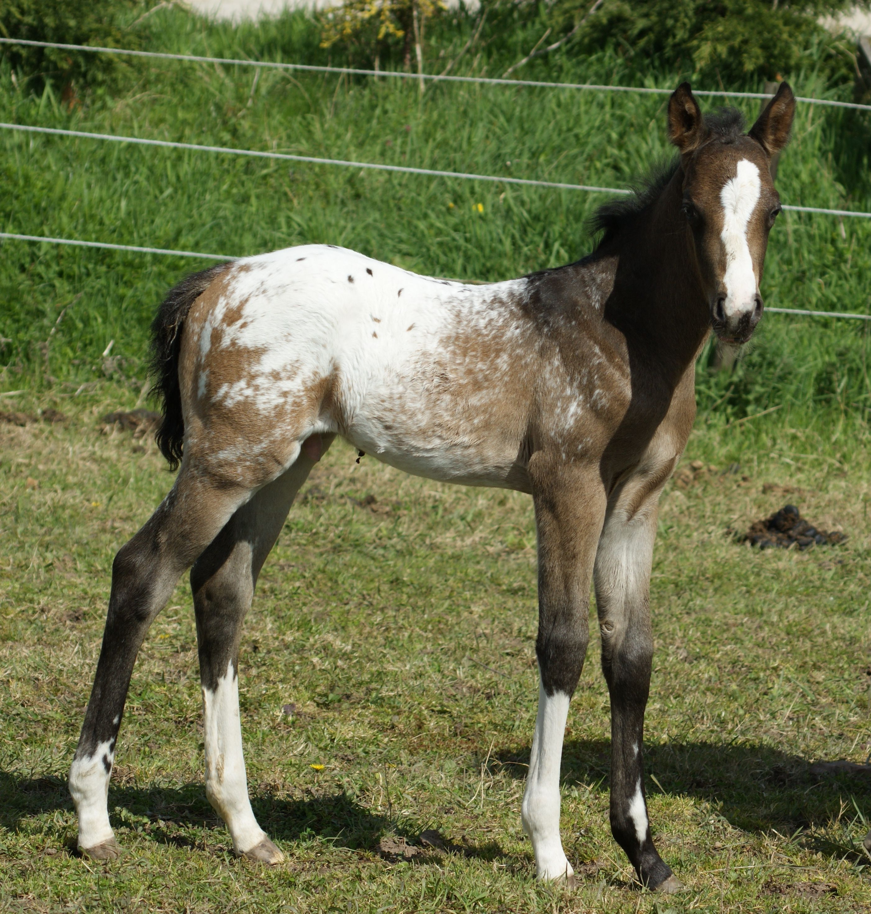 Appaloosa Horse Club (ApHC) UK Ltd Staroak Dun N' Dusted