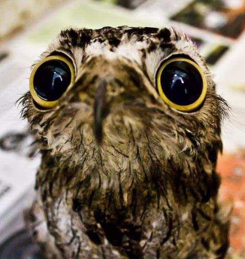 有《滾滾眼睛》的鳥類 這眼睛看起來真像假的......