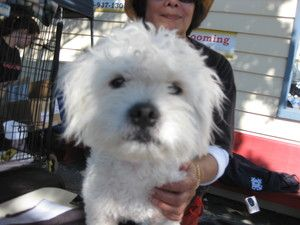 Shaggy Is An Adoptable Coton De Tulear Dog In Seattle Wa Shaggy