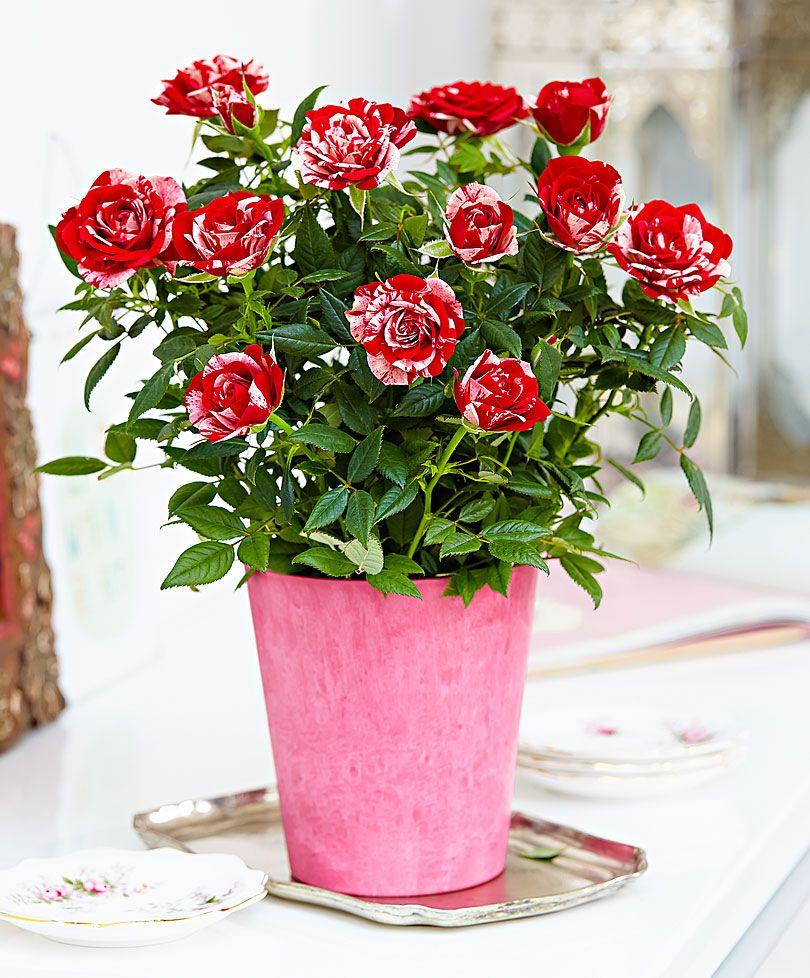Indoor Rose Bush Parade Gigi Plants