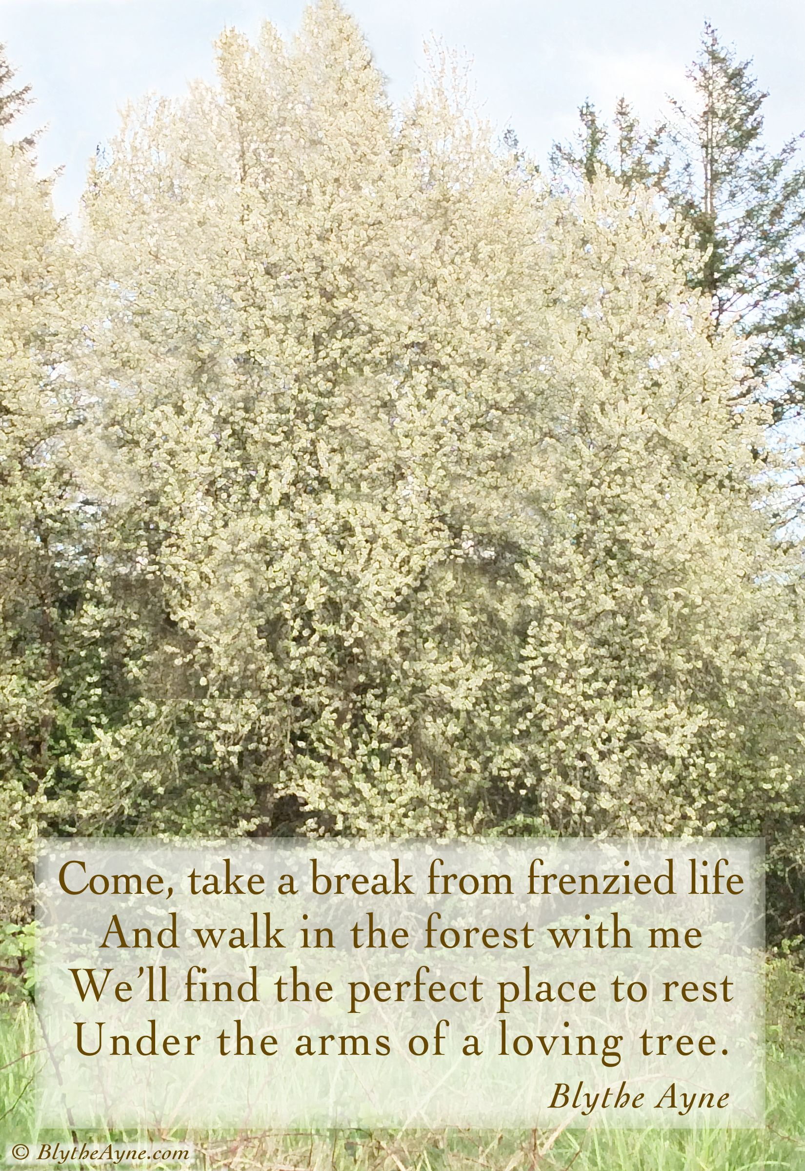 My Wild Cherry Trees In Wild Blossom Walkwithme Lovefromhouseoftree Cascade Mountains Perfect Place Life