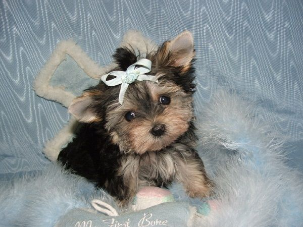 brown and black maltese puppies | Zoe Fans Blog | Cute ...  brown and black...