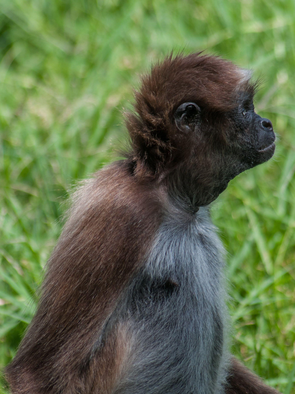 El mono araña, marimonda del magdalena o choibo (Ateles hybridus) El ...