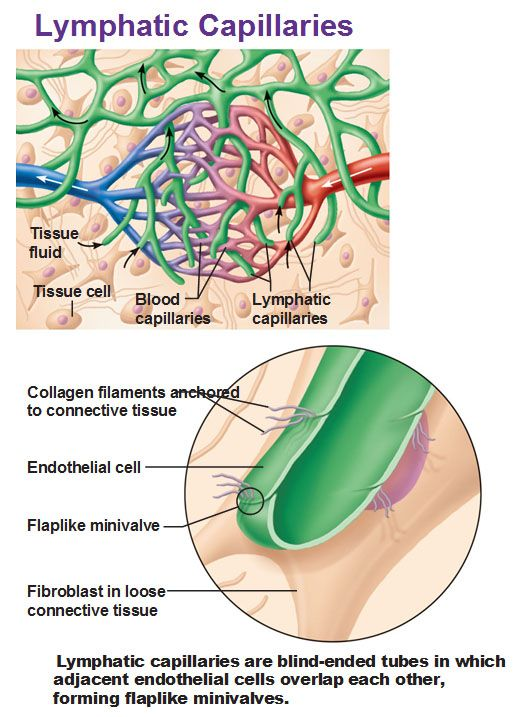 Figure 201 Distribution Special Features Of Lymphatic Capillaries