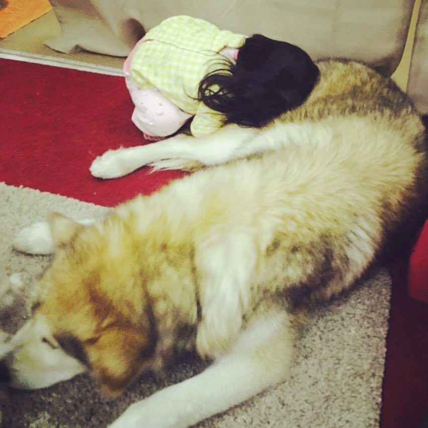 it s bed time together 柔らかいんだろうね alaskanmalamute