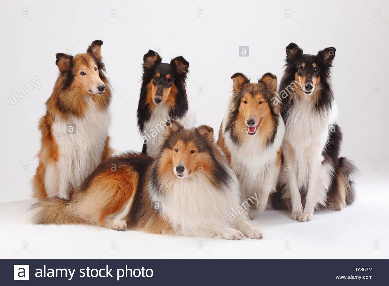 rough-collies-male-and-bitches-DY853M.jpg (1300×956)