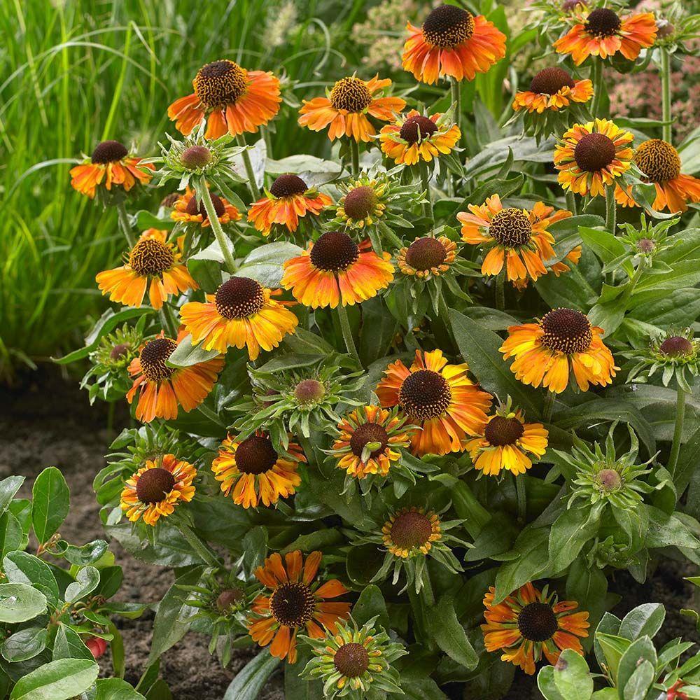 Helenium Short N Sassy White Flower Farm Making Plant Pots Flower Pots