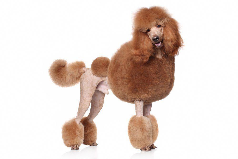 Standard Poodle Puppies Poodle Cons Poodles Carry A High