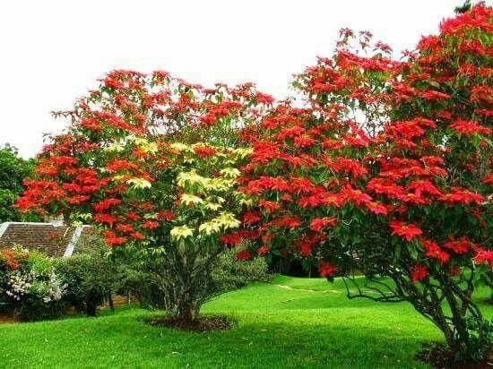Poinsettias In Their Native Mexico Grow Into Trees Trees To Plant Plants Desert Plants