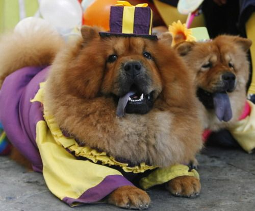 Download Chow Chow Chubby Adorable Dog - c4719fd6a824d6d19c3262b7ac48bccc  You Should Have_546125  .jpg