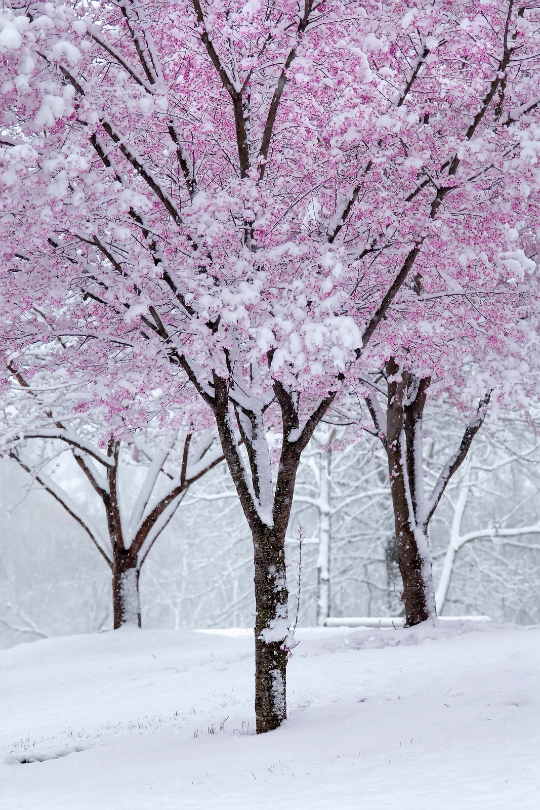 Spring Snow J Mayfield Winter Nature Spring Snow Blossom Trees
