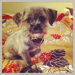 Garbanzo Shih Tzu Border Terrier Mix