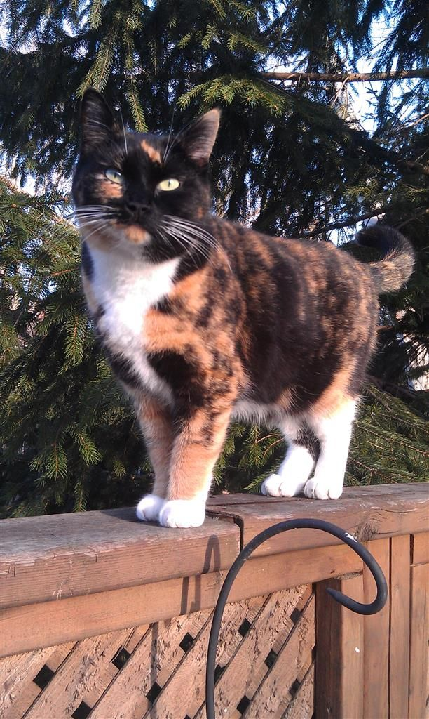 Lost Cat - Calico - London, ON, Canada N5W 5P2