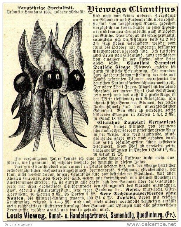 Original-Werbung/ Anzeige 1897 - VIEWEGS CLIANTHUS / GÄRTNEREI LOUIS VIEWEG - QUEDLINBURG  - ca. 90 x 115 mm