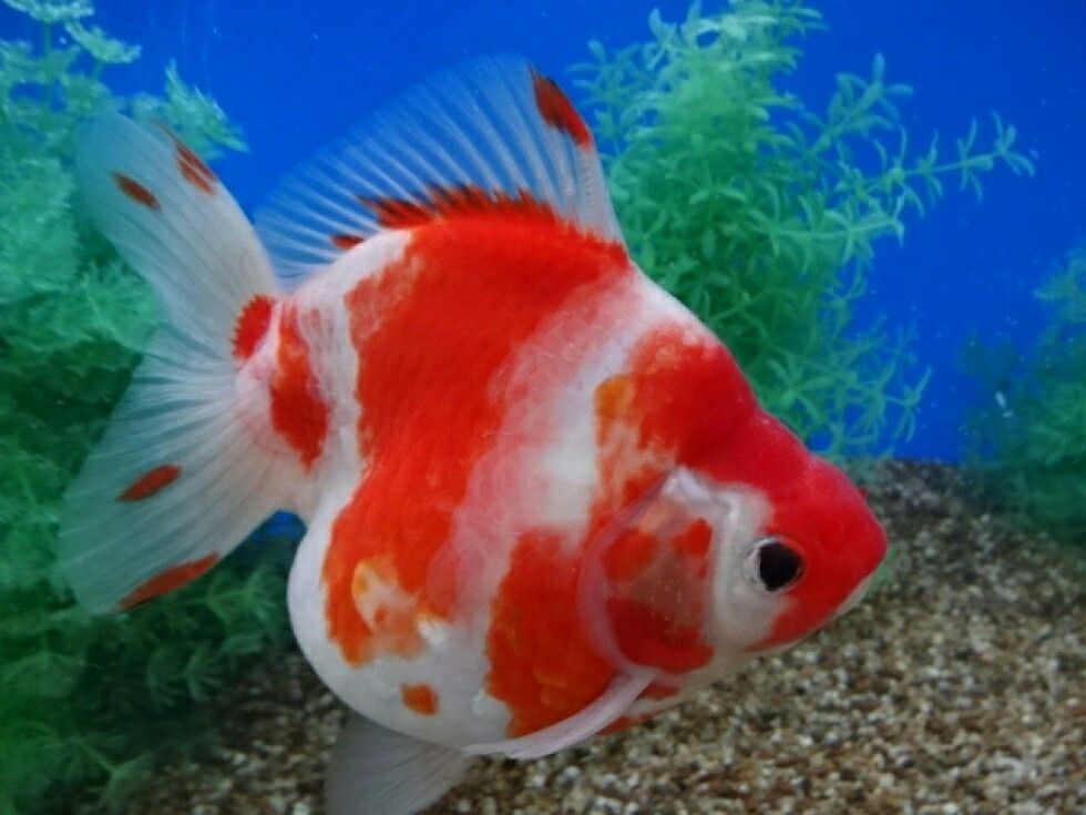 Sakura Short Tail Ryukin Oranda Goldfish Goldfish Tropical Fish