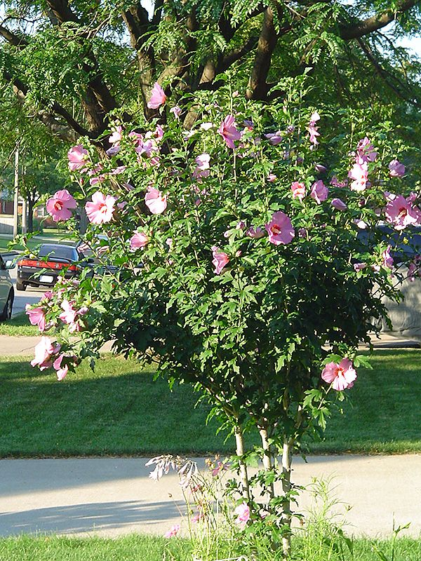 Click To View Full Size Photo Of Aphrodite Rose Of Sharon Hibiscus