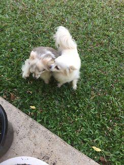 Chihuahua Dogs Puppies Gumtree Australia Cairns City Gordonvale 1161735111