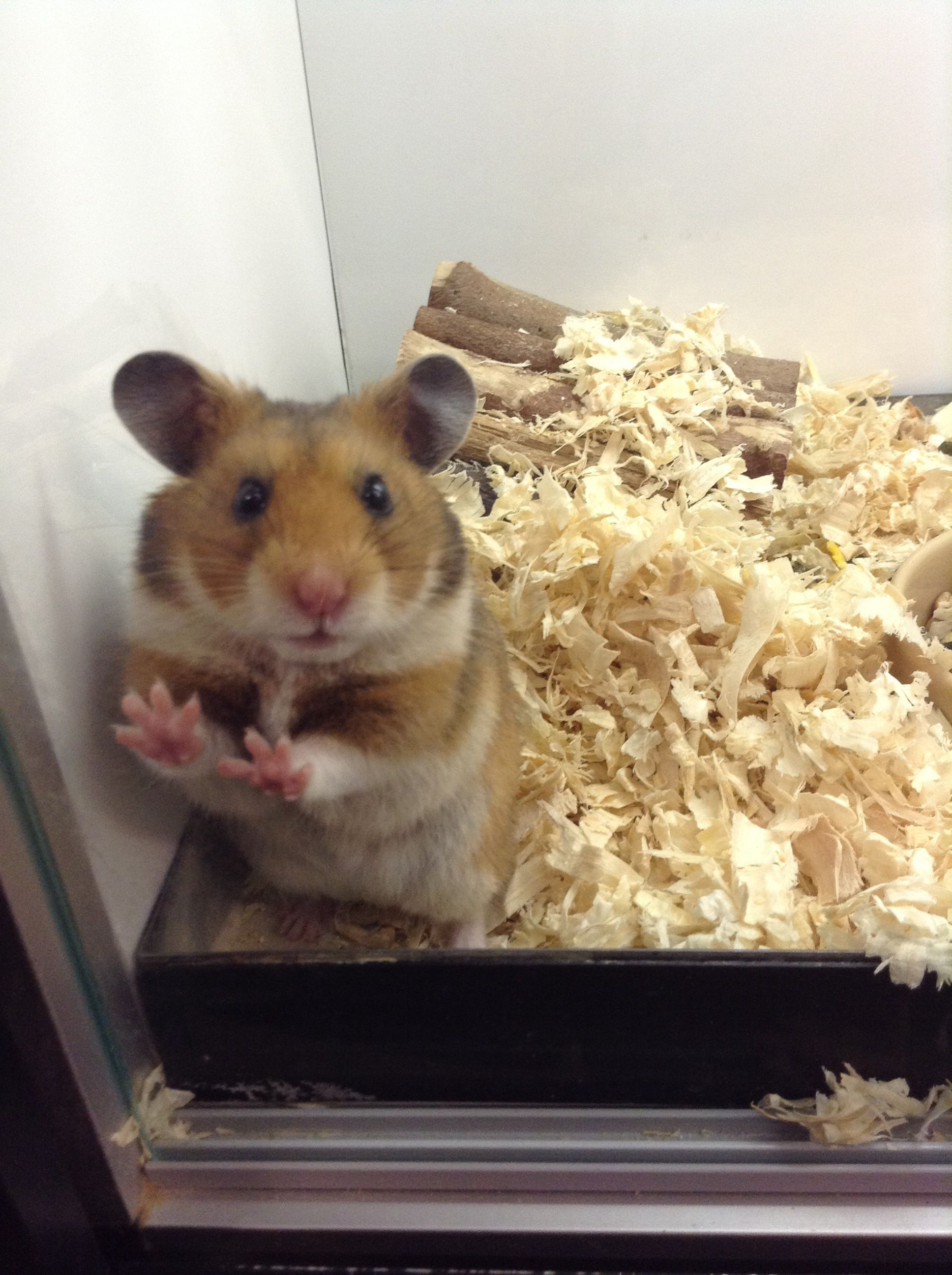 Cute hamster Cute hamsters, Syrian hamster, Hamster