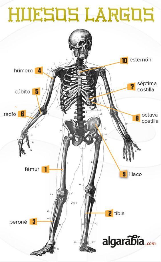 10 musculos principales del cuerpo humano