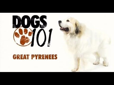 Dogs 101 Great Pyrenees Eng Greatpyrenees Great Pyrenees