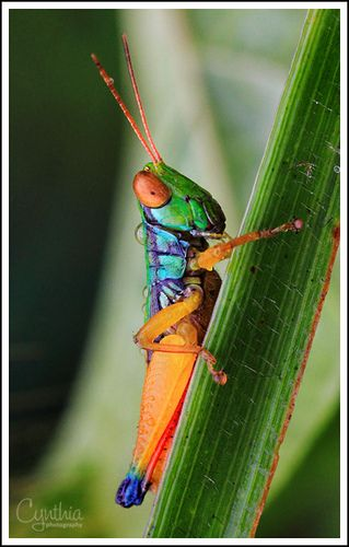 Colorful Grasshopper | Beautiful bugs, Cool insects, Bugs, insects