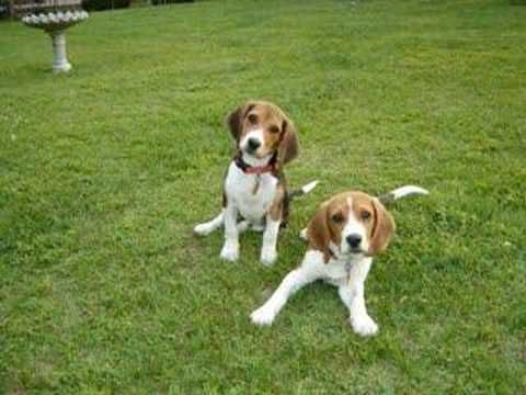 Rabbit Dogs Beagle Puppy Beagle Dogs