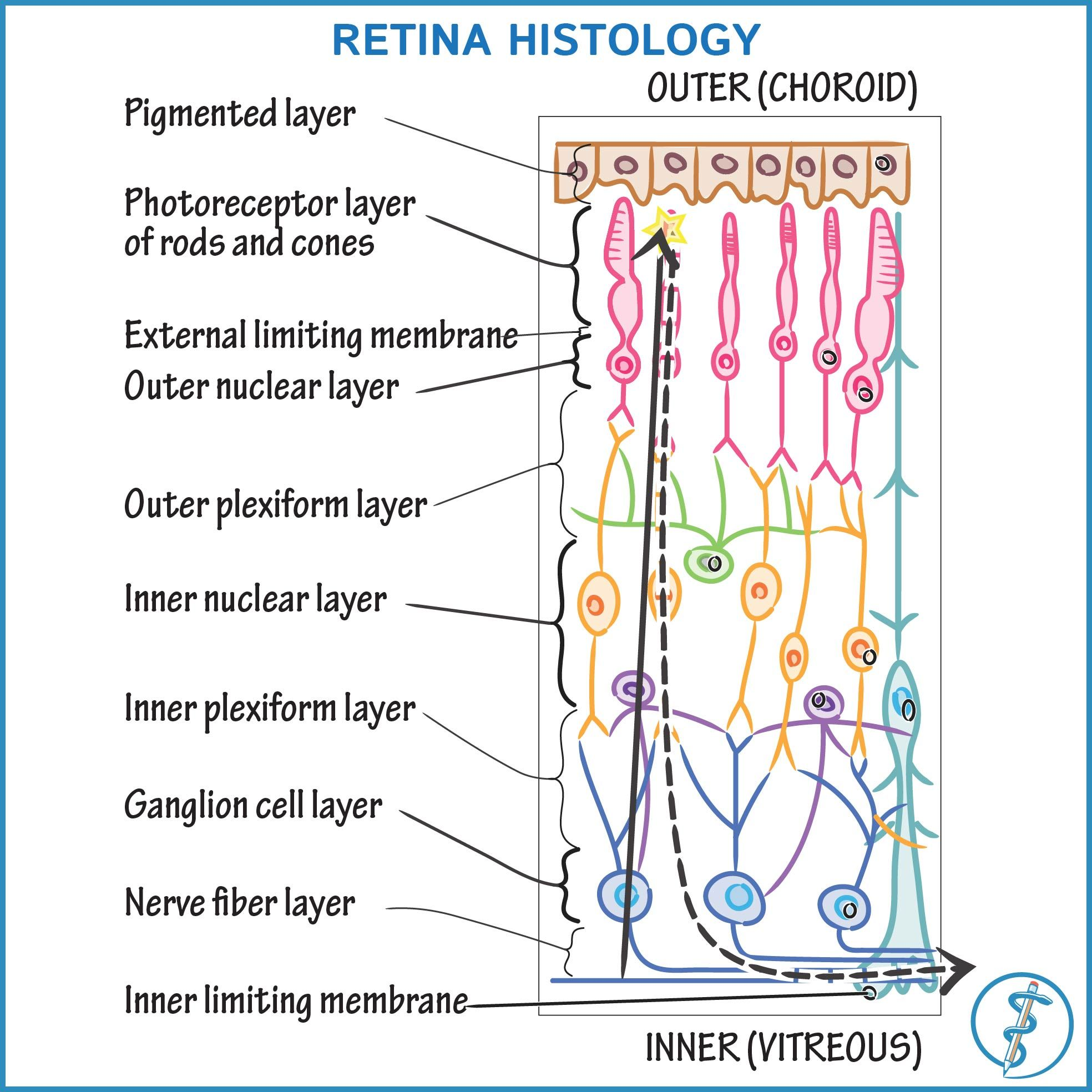 For More On Retina Histology And To See How This Diagram