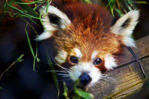Red Panda - National Zoological gardens - SA