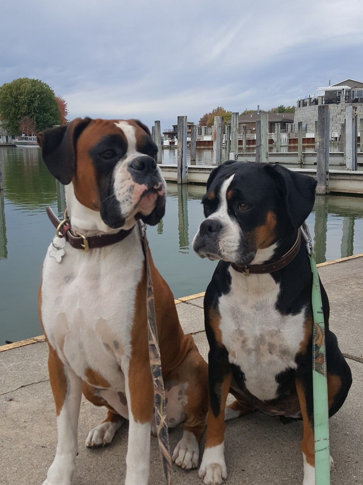 Pin By Melissa Horney On Boxer Love Boxer Breed Boxer Puppies Boxer Dogs Funny