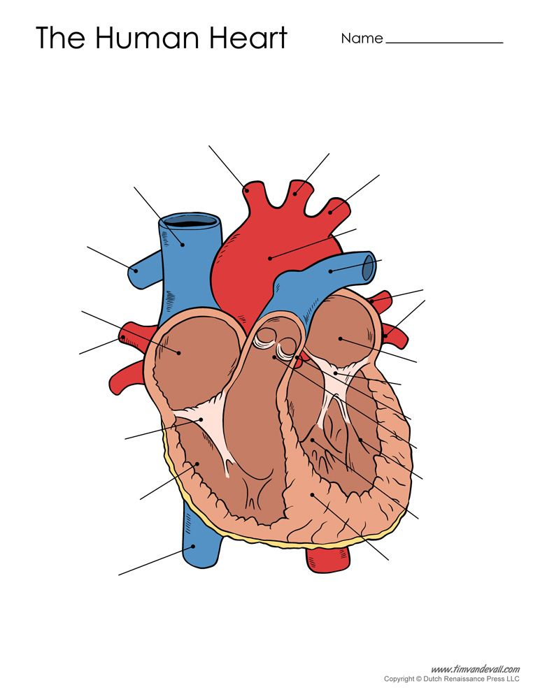 Human Heart Diagram Unlabeled Jpg 772 1000 Heart Diagram Human Heart Diagram Heart Printable